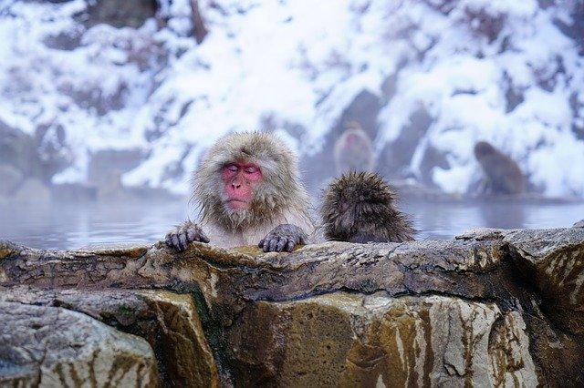 温泉猿スノーモンキー